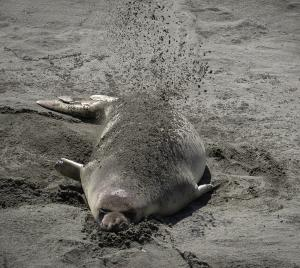 Elephant Seal using sand for sun protection